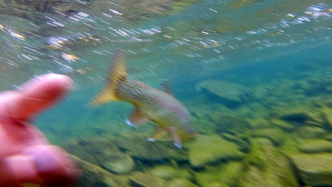 A rainbow trout is released after being caught on a dry fly in the fall of 2014.