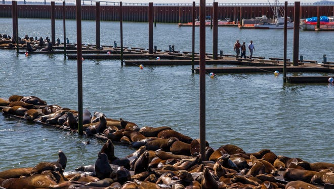 In this May 26, 2015 photo, California sea lions and harbor seals rest on a dock as Robert Evert, Jose Delgado, and Michael Weston, with the Port of Astoria, walk on a recently cleared dock in the East End Mooring Basin in Astoria, Ore. The Port of Astoria is attempting to use the beach balls as a sea lion deterrent according to the Daily Astorian. (Joshua Bessex/Daily Astorian via AP)