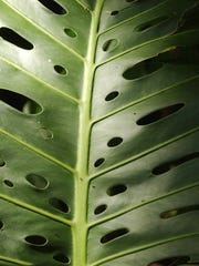 Native to the tropical and subtropical Americas, out in the wild (and in backyards) monstera is a big-leafed climbing or sprawling vine that supports itself with long tentacle-like aerial roots.