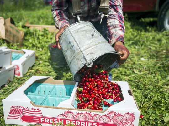 José Luis, a worker with Peters Orchard in Adams County, fills bins with a cherry harvest Wednesday in Latimore Township.