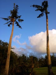 These coconut trees on the island of Guam show signs