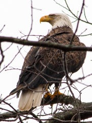The mature bald eagle had once again claimed his or
