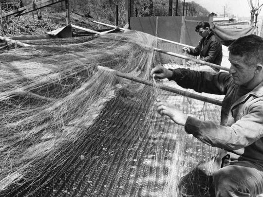 Shad fisherman Alfred E. Storms, 41, of Marlboro prepares a net with the help of William W. Tubbs, 18, (background) of Marlboro near the Hudson River in Poughkeepsie in May 1967.