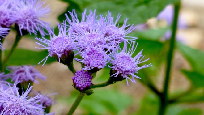Blossoms of Gregg's mistflower are bright lavender-blue small, cushion-like, flat clusters of fuzzy, fluffy petals. From a distance the floral display appears misty. September is time for peak bloom, attracting pollinators to the garden.