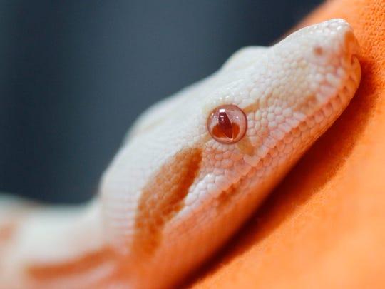 A Sunglow boa constrictor at Repticon
