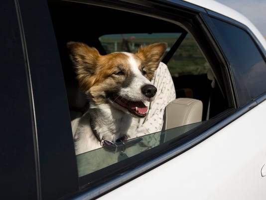 Dog riding in car