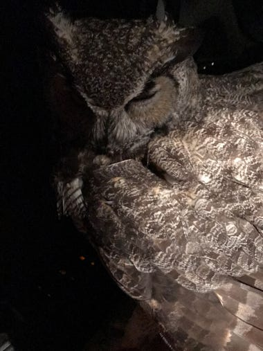 Woman trapped in car with owl regrets nothing