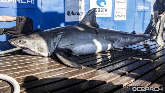 Miss Costa, a great white shark, pinged off the Virginia coast on Nov. 1, 2017.
