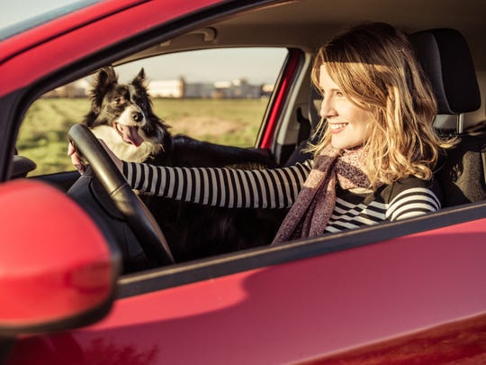 Most dogs love to ride in cars, but in summer it's better to leave dogs home if you plan on running errands. The interior of a car parked in the sun can feel like an oven in just a few minutes.