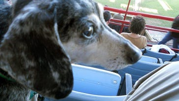 Steve Bernstein's beloved dog Rosie, a dachshund, went missing Saturday night in Southfield, in the Bell Road-Pontchartrain area north of 11 Mile and west of Lahser Road.