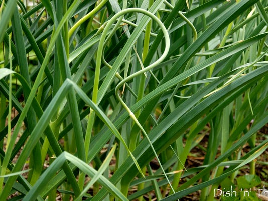 Come late June, garlic scapes unfurl in the garden.