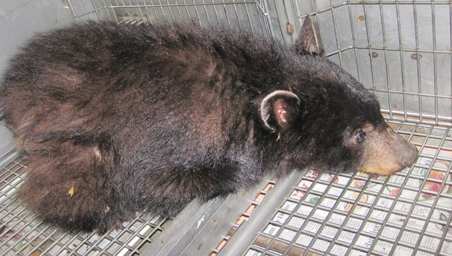 The hair loss on the back and rear of this 25-pound bear cub found at Yellowbottom Recreation Site near Sweet Home, Ore., indicate malnourishment.