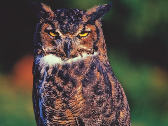 636536827885684374-Great-Horned-Owl.jpg