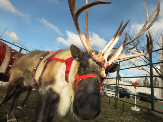 Live reindeer from Santa's Crew in Luxemburg nuzzled