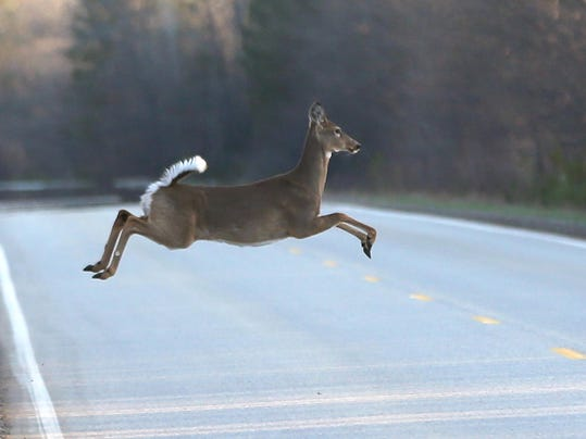 file-- deer in road