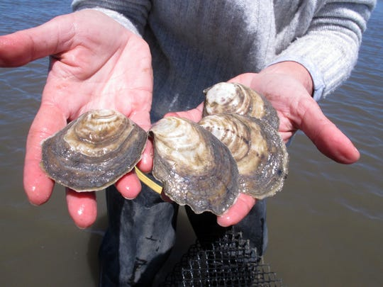 Lisa Calvo, an oyster researcher and commercial grower,