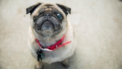 Bell E. Button, a 12-year-old pug, poses for a portrait