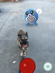 Rae Master's dog Huxley on a Pokemon Go hunt.