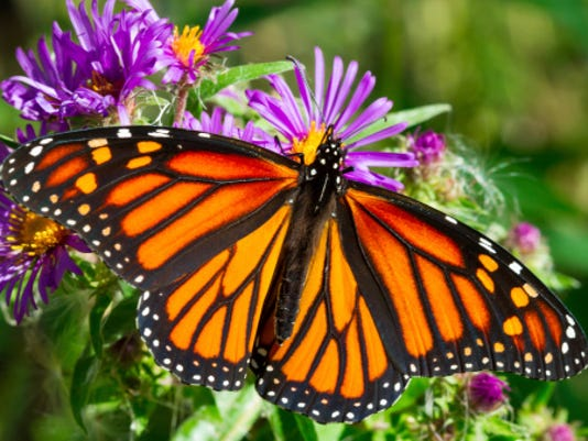 HES-stockimage-022216-monarch butterfly stock image.jpg
