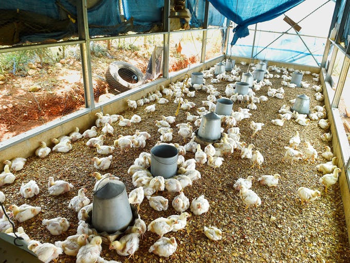Chickens are raised in a farmer's coop in Gressier.