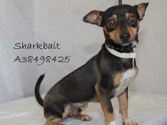 Sharkbait - Male (neutered) Chihuahua mix, about 1 year old. Intake date: 5-7-2018
