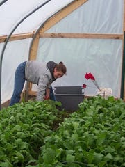 A student works in a hoop house inside MSU's Student Organic Farm.