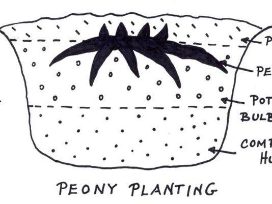 -Peony Planting.jpg_20140606.jpg