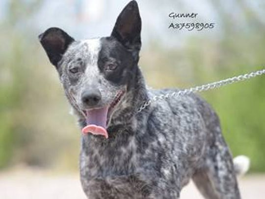 Gunner - Male (neutered) blue heeler mix, about 3.5