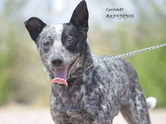 Gunner - Male (neutered) blue heeler mix, about 3.5 years old. Intake date: 1/11/2018