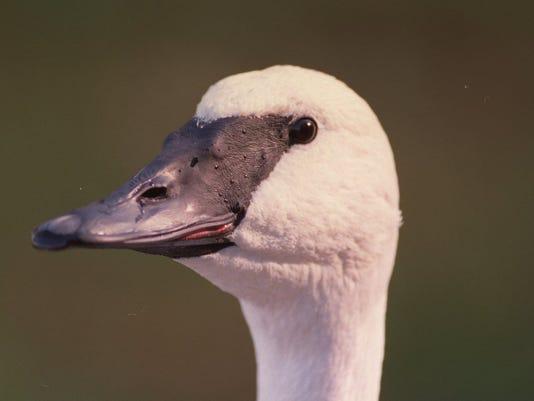 636065071432833770-Swan-Head.JPG