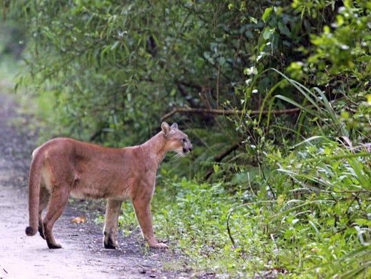 Florida Panthers Big Cats