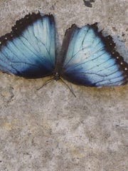 """Dubbed """"The Common Blue Morpho"""" from Central and South"""