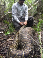 A Burmese python captured in Southwest Florida ingested a large prey animal.