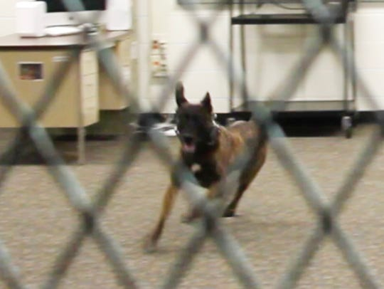 Flex, a Livingston County Sheriff's dog, engages in