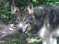 To rural Wisconsin, wolves are terrorists: column