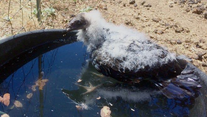 Gary Krueger of Bella Vista found this baby turkey vulture in his horse trough June 24 and took it to Shasta Wildlife Rescue.