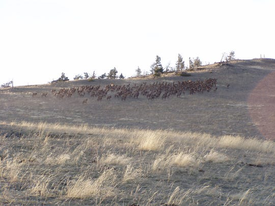 A herd of elk gather on private land in the Devil's Kitchen area south of Cascade.