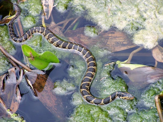 An example of a Florida water snake on top of water.