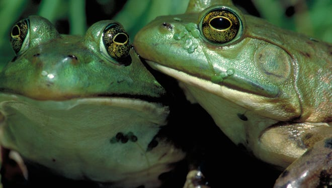 Bullfrogs, like this American bullfrog, are known for their loud, deep mating calls.