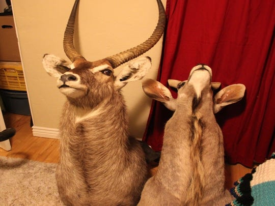 The San Juan County Sheriff's Office has released these photos of taxidermy mounts recovered from residence in Albuquerque on Tuesday.