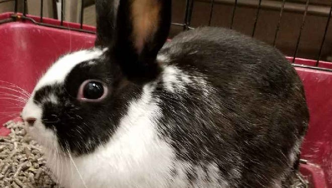 Madame Giry is a 1-year-old American rabbit mix who came to us as a stray in March. She is incredibly sweet, but will need someone who understands rabbit behavior. Come see her little twitchy nose!
