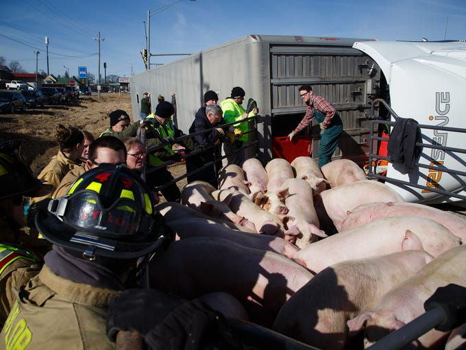 Crews work to transfer over 100 hogs from a flipped