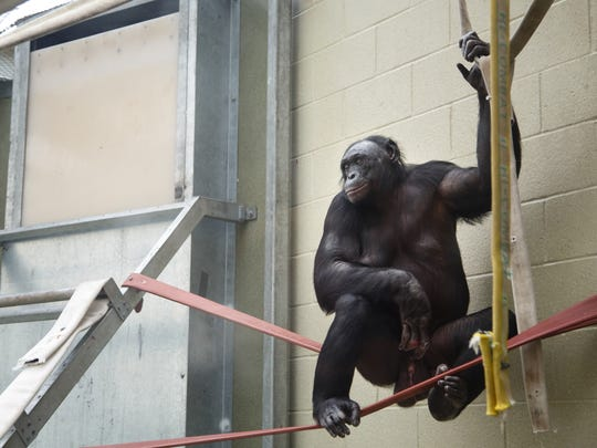 Kanzi, a 37 year old bonobo, plays in the green house