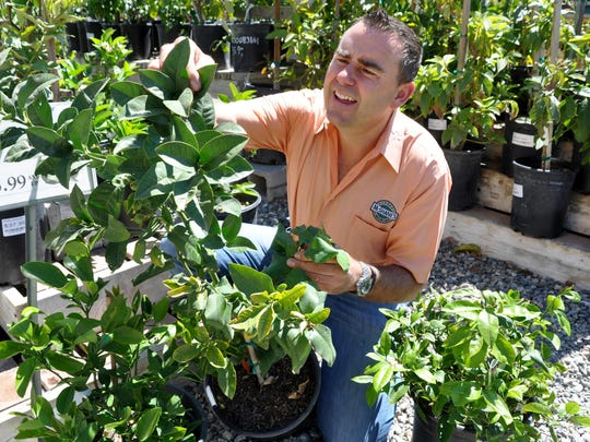 Steve McShane, owner of McShane's Nursury and Landscape Supply south of Salinas, inspects potted citrus trees for signs of damage by insects, which now includes Asian citrus psyllids.