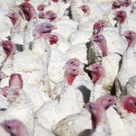Hundreds of free-range turkeys sit outside a barn at Maple Lawn Farms in Fulton, Maryland in this 2014 file photo.