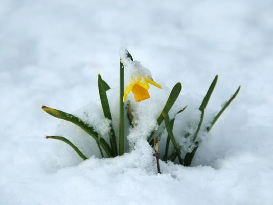 Generic stock image Spring flower in the snow