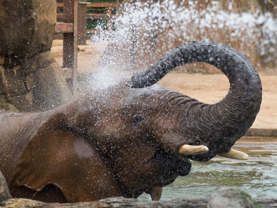 Elephants at Zoo Knoxville are given baths to help