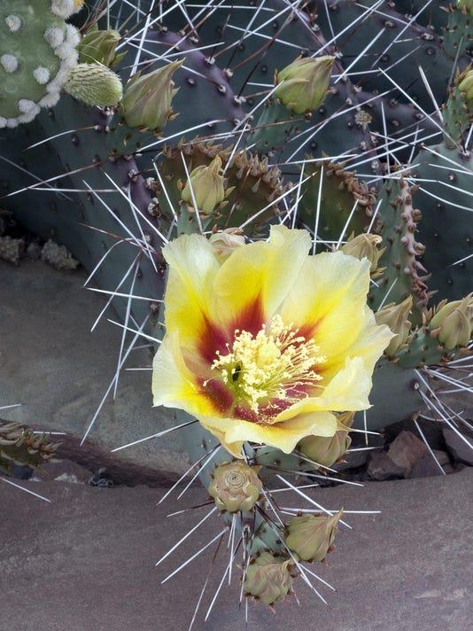 Desert Prickly-Pear.tif