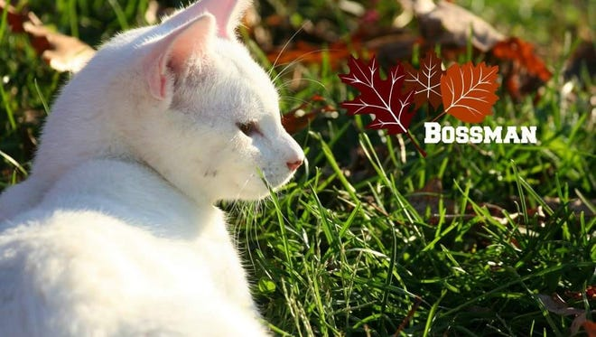 "Bossman is a gorgeous, solid white boy that's under a year old. He's out of a litter of four and he is the ""boss man"". He is already neutered and up to date on all shots, just waiting for the perfect home. To find out how to adopt Bossman, please call the Mary Hall Ruddiman Shelter."