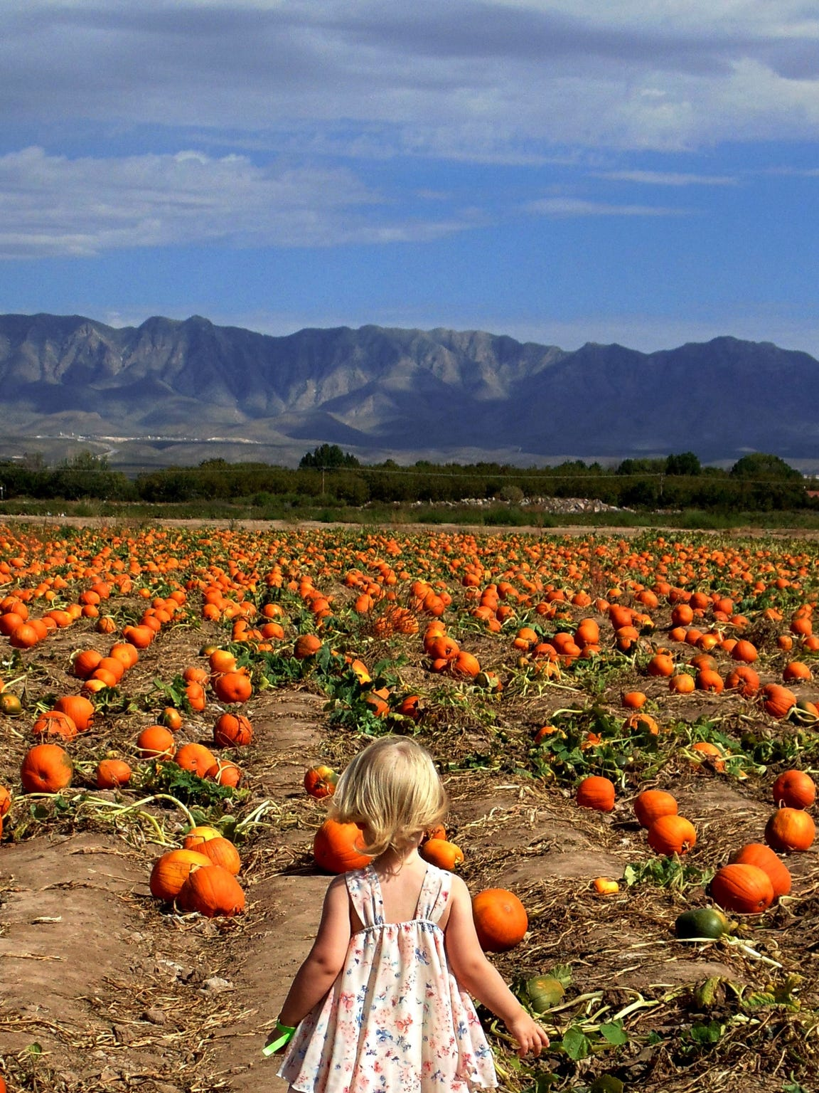 The 12-acre pumkin patch at La Union Maze.Small and larger pumpkins are available for purchase by the pound.